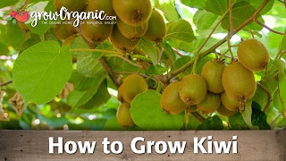 Learn how to plant and grow a hardy kiwi. Kiwis are a relatively disease free vine that is hardy to zone 4. These little kiwis are...