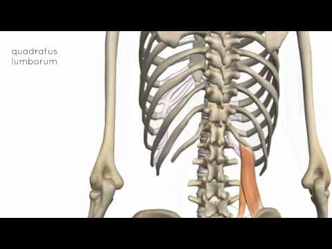 Muscles of the Posterior Abdominal Wall - 3D Anatomy Tutorial