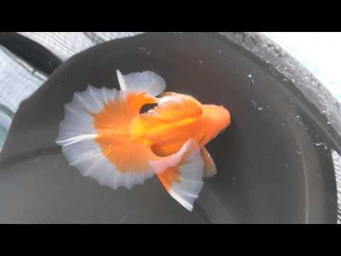 土佐錦魚保存会