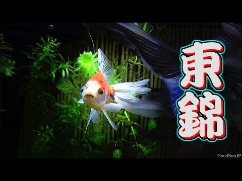 新・金魚水槽 ⑧東錦 【アクアリウム】