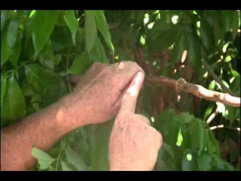 Raising Lychee for Propagation.wmv