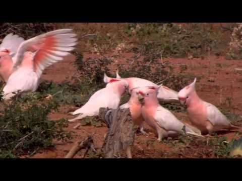 Video Parrots  Majestic Birds Nature Documentary download in MP3, 3GP, MP4, WEBM, AVI, FLV January 2017