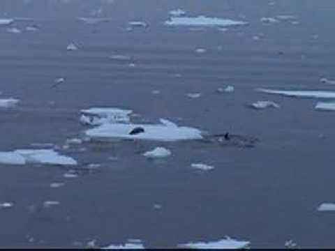 Orca en aguas polares
