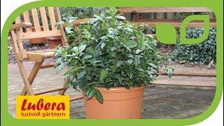 Die ersten echten Teepflanzen von Lubera