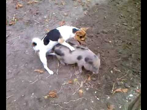 Video dog rapes pig 1 download in MP3, 3GP, MP4, WEBM, AVI, FLV January 2017