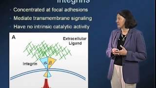 Extracellular Matrix - Molecular Components