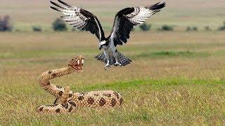 Video Los halcones lanzan serpientes desde el acantilado al suelo para proteger a su bebé MP3, 3GP, MP4, WEBM, AVI, FLV Februari 2019