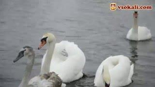 Лебеді на річці Зх. Буг .Сокаль 2016