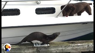 Otter Wants To Play With Dogs SO BADLY | The Dodo