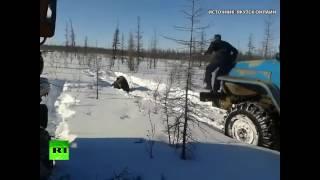 В Якутии вахтовики раздавили медведя «Уралами» (ВИДЕО 18+)