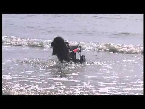 il cane disabile che commuove tutti scopre il mare grazie al carrellino