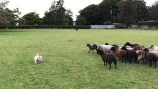 ちょっと待ってよ、あべこべじゃん!「世界一ダメな牧羊犬」として有名になってしまった犬