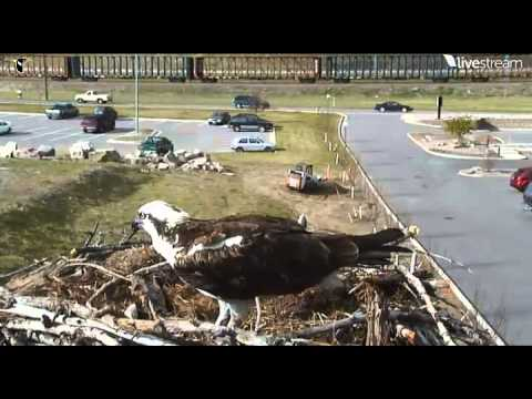 Osprey 05/04/2013 Feeding