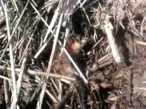 как ловить ондатру капканами видео