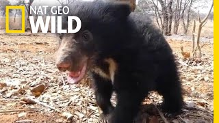 Orphaned Sloth Bear Cub Is Playful and Healthy One Year After Rescue | Nat Geo Wild by Nat Geo WILD
