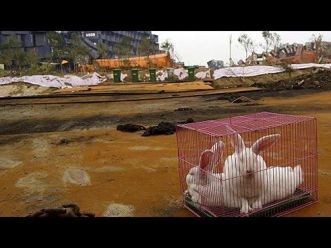 Τιαντζίν: κότες και κουνέλια «επιστρατεύονται»