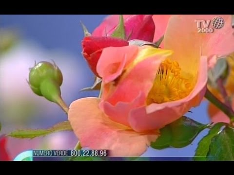 come avere delle splendide rose in vaso a casa propria