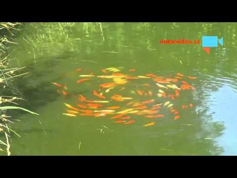 Rybí kolotoč aneb rybí vír