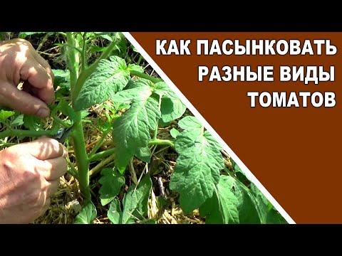 Как пасынковать детерминантные, индетерминантные и штамбовые томаты
