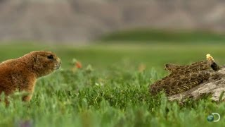 Brave Prairie Dog Confronts Snake | North America