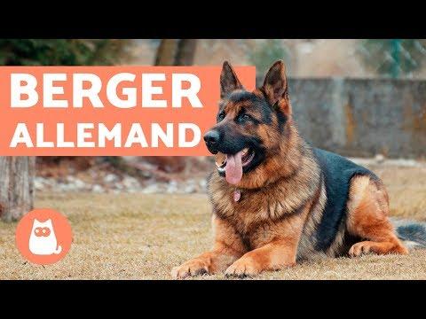Dr.Vétérinaire R. Blineau LE CHIEN DE BERGER ALLEMAND (Ed. Bornemann 1981)