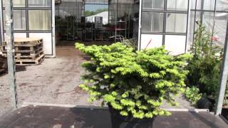 #670 Die Zwerg-Balsamtanne - Abies balsamea Nana