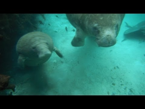 Manatees at Crystal River