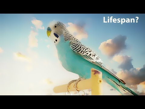 What is the average lifespan of a Budgie?