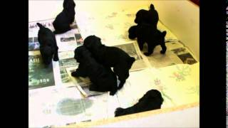 8 Standard Poodle Puppies Playing - 4 Weeks Old