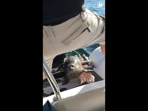 Scared Seal Dives into a Boat to Escape Orcas