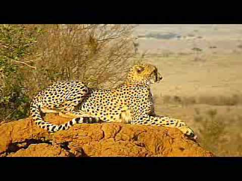 safari - Recorded on a safari trip to Lake Nakuru and Masai Mara in Kenya.