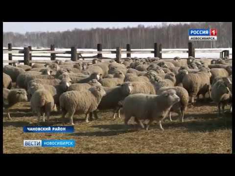 ВНовосибирской области начали разводить уникальных племенных овец