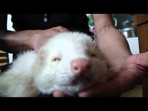 Stuffed toy ferret.