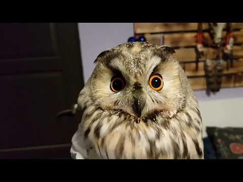 Результат лечения ушастой совы с травмой крыла