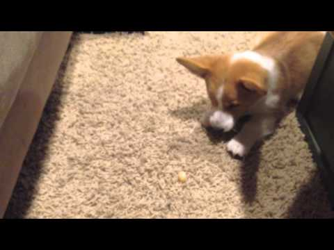 Corgi vs. sour lemon candy