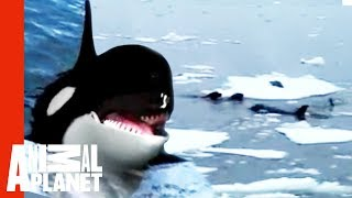 Killer Whale - Study of Hunting Technique
