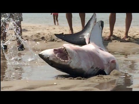 Beached Great White Shark Saved By Beach Goers