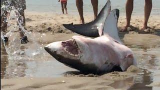 Le requin blanc est échoué sur la plage, des touristes le sauvent