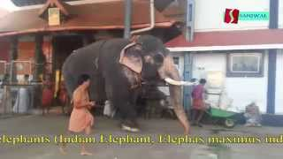 Guruvayoor India  city photos gallery : guruvayur temple kerala elephants india