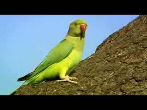 parakeet - Wildlife documentary series. There are estimated to be 30000 wild parakeets in Britain. Why are they thriving? NATURE: Wild On: BBC 2 North (102) Date: Satu...