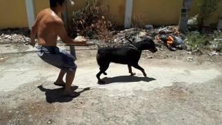 Rottweiler cái 2 tuổi