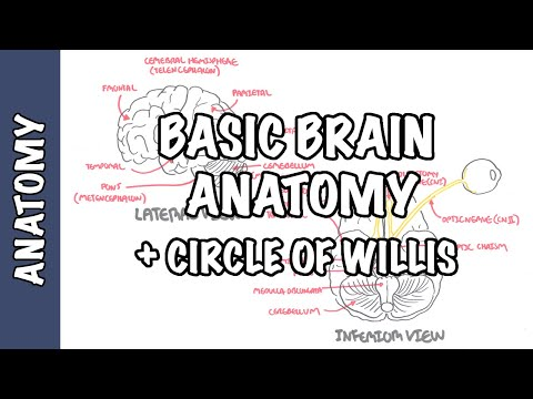 Anatomy - Brain (circle Of Willis And Stroke)