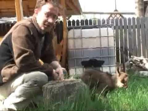 Bambi adoptat de salvatorii montani