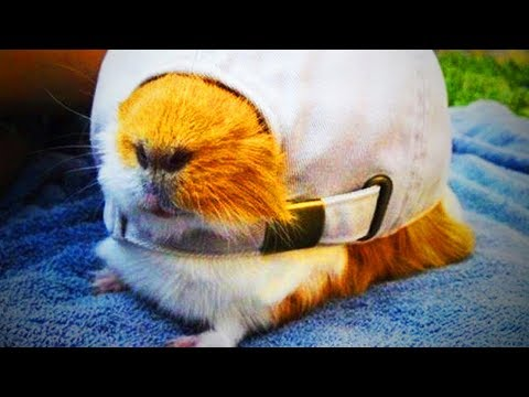 Cute Guinea Pigs 😂 Cute Guinea Pigs Doing Things Funny (Full) [Epic Life]