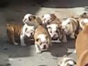 Un esercito di bulldog seguono la loro mamma