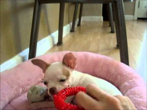 My Cute Chihuahua Puppy Mia :)
