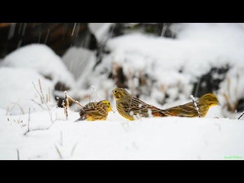 Обыкновенные овсянки зимой на снегу