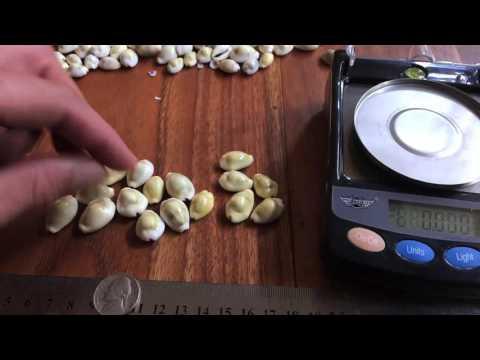 Cowry shells as Binary Dice