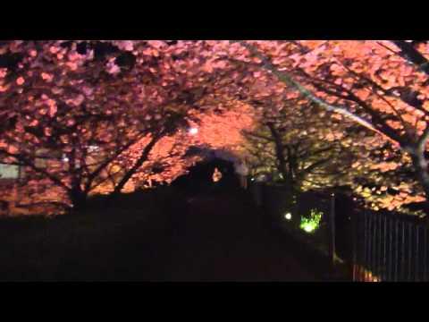 河津桜まつり 2月10日より開催♪