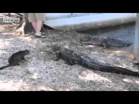 gatto sfida il coccodrillo